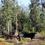Agroforestry Cattle