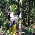 Intensitive Silviculture Pruning