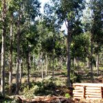 Intensitive Silviculture
