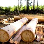 Sliced Veneer logs (pruned 45 cm SED and above)